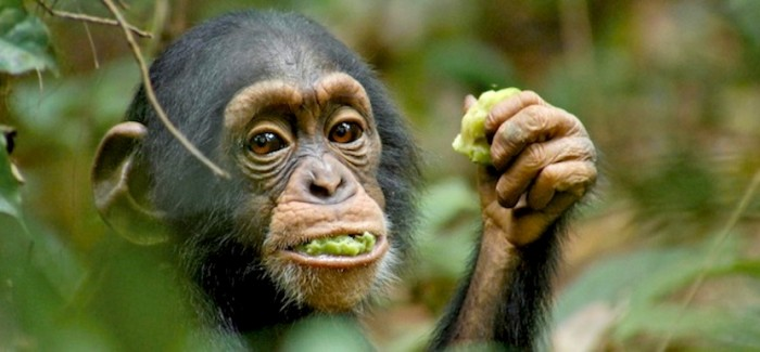 VOD film review: Chimpanzee (Disney Nature)