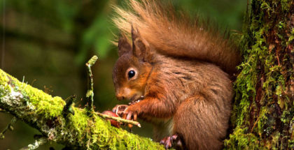 A Year In The Wild - The Dales And The Moors - The dales are home to Yorkshire's only Red squirrels.  Food reserves are low following winter.