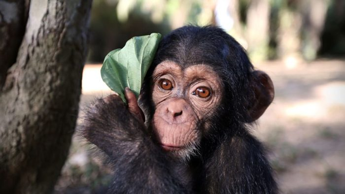 BBC Two plots Baby Chimp Rescue